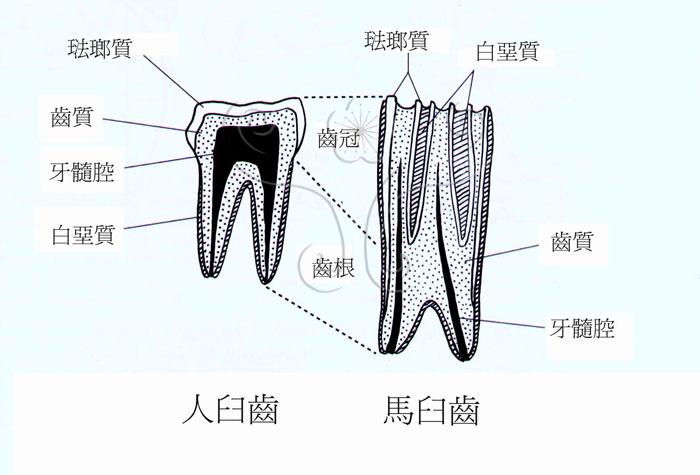 哺乳动物牙齿的基本结构由珐琅质