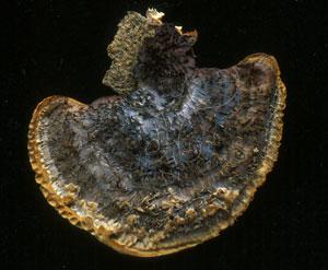 * 圖說:1.毛蜂窩菌子實體菌傘背面。* 作者:吳聲華