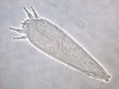魚藤畸節蜱