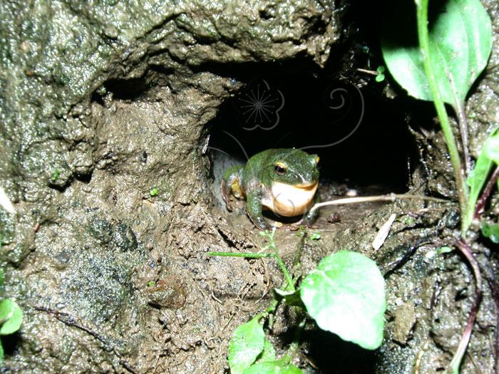 台北树蛙 -自然与人文数位博物馆 知识单元图片