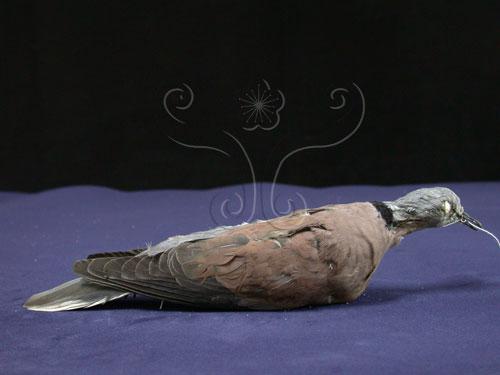 紅鳩,RedTurtleDove,火斑鳩