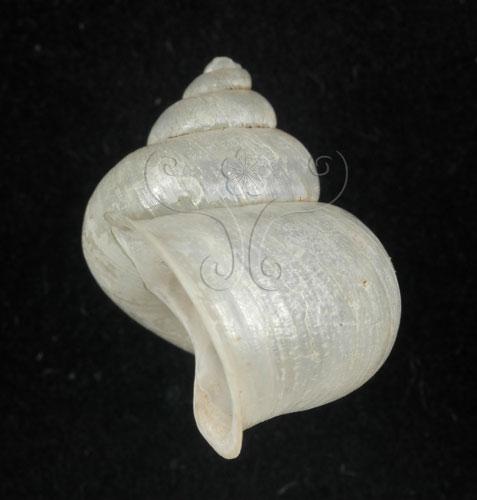 臺灣青山蝸牛