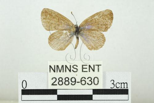 莧藍灰蝶,暗草灰蝶,臺灣小灰蝶,吉灰蝶,濱大和小灰蝶